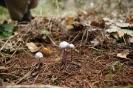 fenyvesek gombái_3