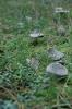 fenyvesek gombái_5