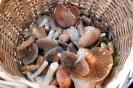 fenyvesek gombái_8